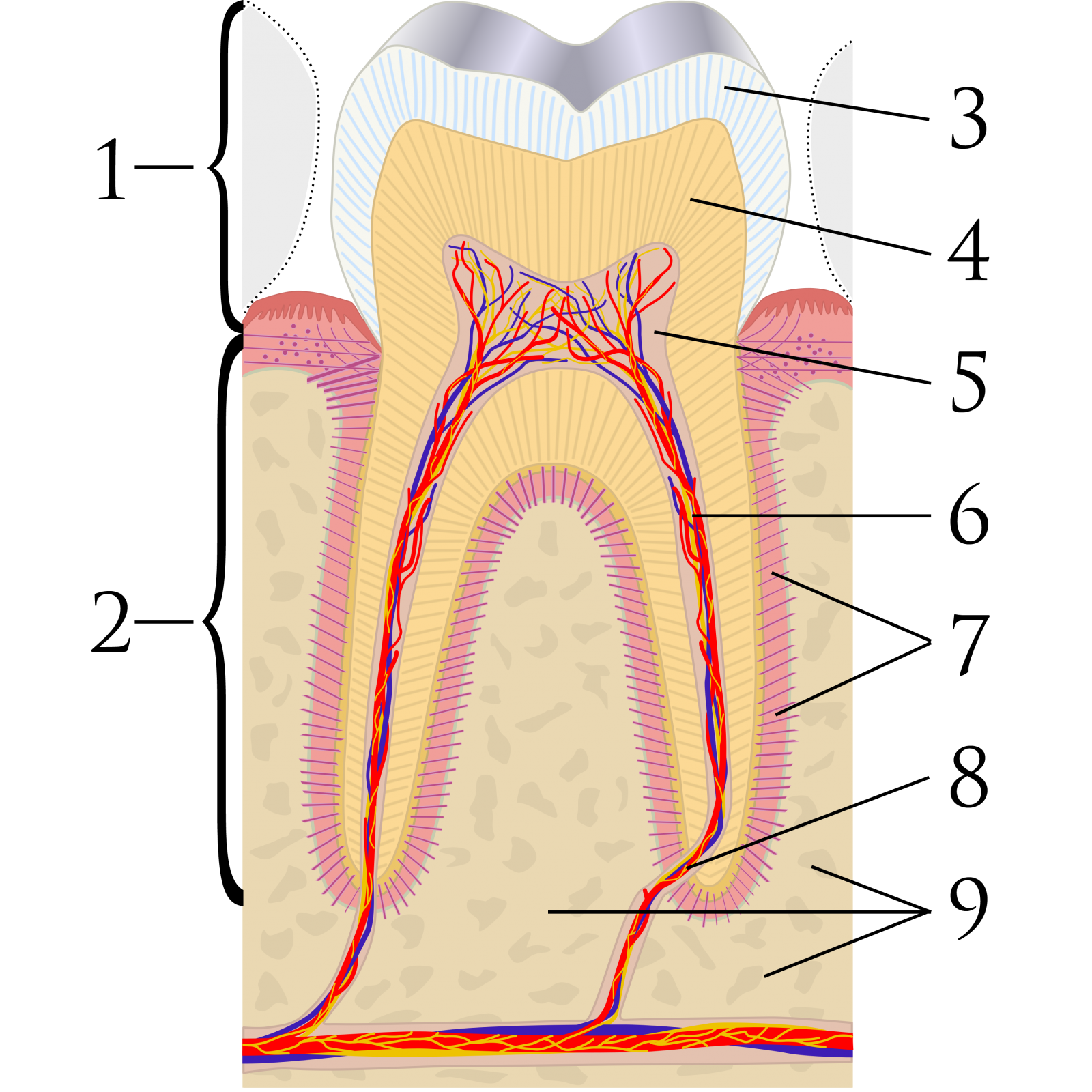 Biological Endodontics/Root Canal Therapy